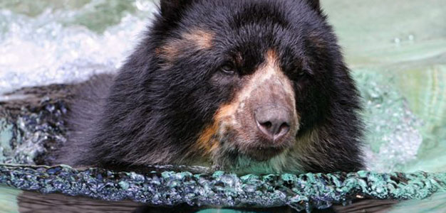 Bear in swimming pool_Flicker