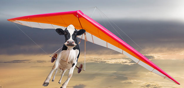 Cows flying