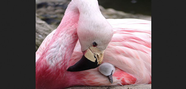 OoohhhLaLa: Heat Wave Put Flamingos in the Mood for 1st Time in 15 Years…