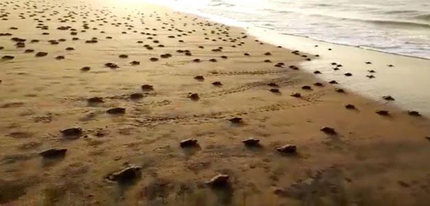 ScreenShot_Turtle_Hatchlings